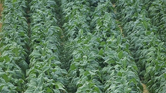 Tobacco plants are struggling with virus